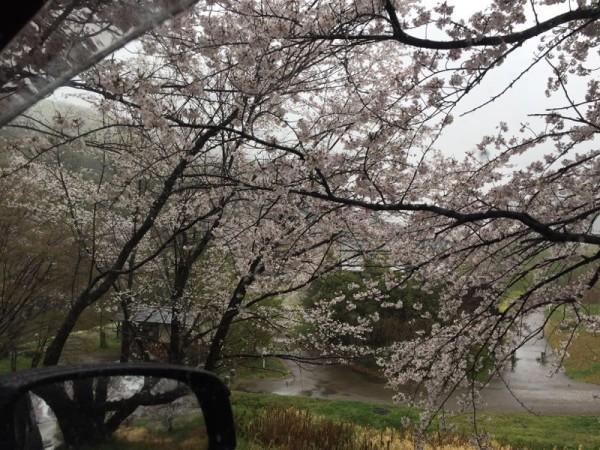 雨の新境川堤防の桜並木