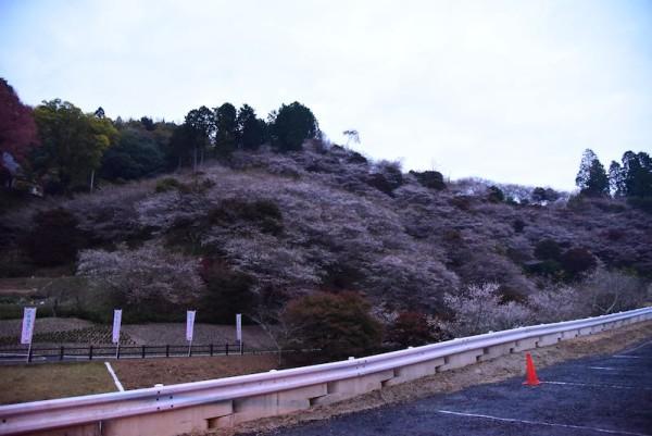 早朝に見た小原の四季桜(まだ全然のタイミング)