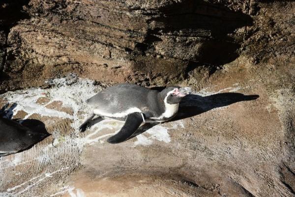 おくつろぎ中のペンギン