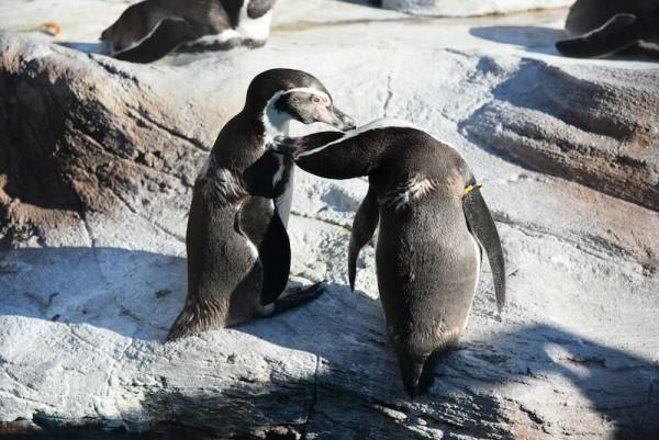 ちょっとくさいけどペンギンはいつ見てもかわいい