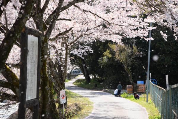 桜そっちのけで四つ葉のクローバー探しをする面々